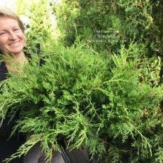 Можжевельник средний Кинг оф Спринг (Juniperus media King of Spring) ФОТО Питомник растений Природа Priroda
