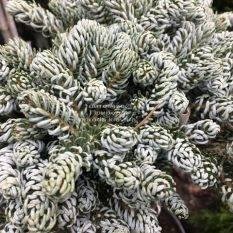 Пихта корейская Когоутс Айсбрейкер (Abies koreana Kohouts Isebreaker) ФОТО Питомник растений Природа Priroda