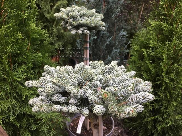 Пихта корейская Когоутс Айсбрейкер (Abies koreana Kohouts Isebreaker) ФОТО Питомник растений Природа Priroda (70)