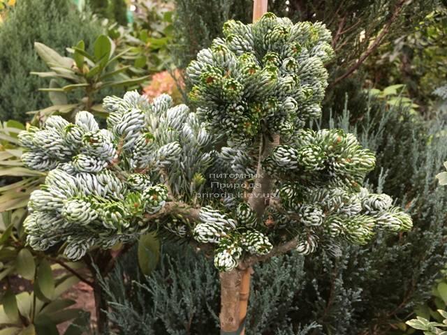 Пихта корейская Когоутс Айсбрейкер (Abies koreana Kohouts Isebreaker) ФОТО Питомник растений Природа Priroda (71)