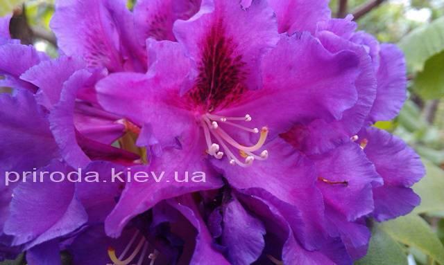 Рододендрон крупноцветковый Распутин (Rododendron Rasputin) ФОТО Питомник растений Природа Priroda