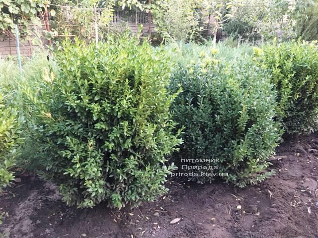 Самшит вечнозелёный (Buxus sempervirens) ФОТО Питомник растений Природа Priroda (20)