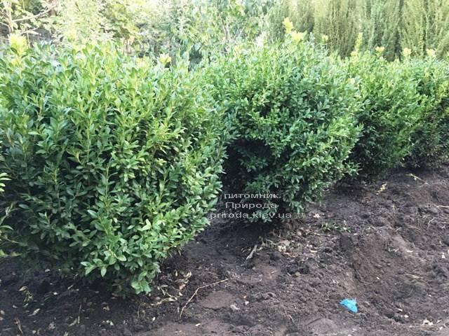 Самшит вечнозелёный (Buxus sempervirens) ФОТО Питомник растений Природа Priroda (21)