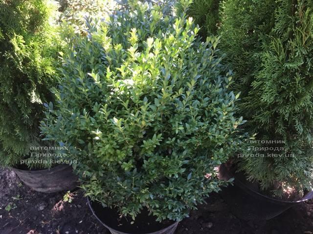 Самшит вечнозелёный (Buxus sempervirens) ФОТО Питомник растений Природа Priroda (22)