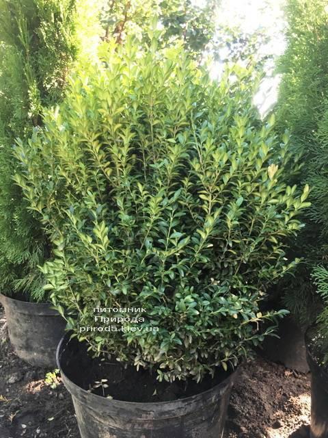 Самшит вечнозелёный (Buxus sempervirens) ФОТО Питомник растений Природа Priroda (24)