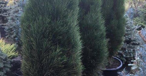 Сосна чёрная Грин Тауэр (Pinus nigra Green Tower) ФОТО Питомник растений Природа Priroda (108)