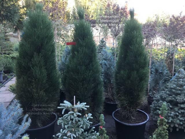 Сосна чёрная Грин Тауэр (Pinus nigra Green Tower) ФОТО Питомник растений Природа Priroda