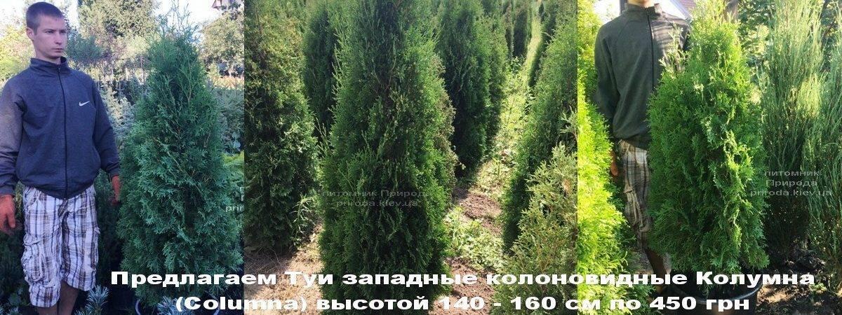 Туя западная колоновидная Колумна (Thuja occidentalis Columna) ФОТО Питомник растений Природа Priroda (82)