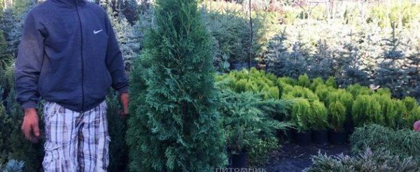 Туя западная колоновидная Колумна (Thuja occidentalis Columna) ФОТО Питомник растений Природа Priroda (81)