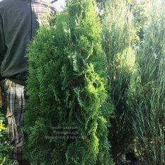 Туя западная колоновидная Колумна (Thuja occidentalis Columna) ФОТО Питомник растений Природа Priroda (72)