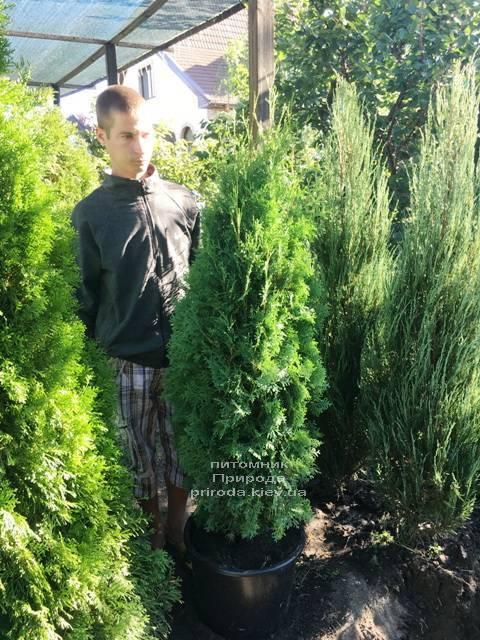 Туя западная колоновидная Колумна (Thuja occidentalis Columna) ФОТО Питомник растений Природа Priroda (73)