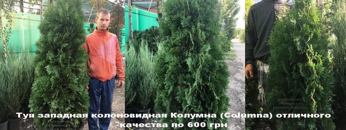 Туя западная колоновидная Колумна (Thuja occidentalis Columna) ФОТО Питомник растений Природа Priroda (88)