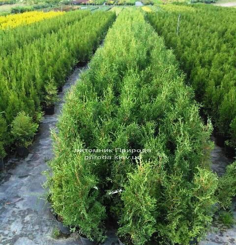 Туя западная колоновидная Колумна (Thuja occidentalis Columna) ФОТО Питомник растений Природа Priroda (71)
