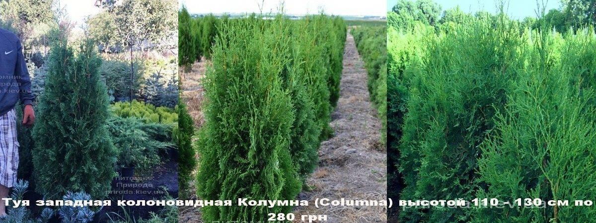 Туя западная колоновидная Колумна (Thuja occidentalis Columna) ФОТО Питомник растений Природа Priroda (94)