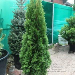 Туя западная Смарагд (Thuja occidentalis Smaragd) ФОТО Питомник растений Природа Priroda (87)