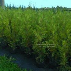 Туя западная Брабант (Thuja occidentalis Brabant) ФОТО Питомник растений Природа Priroda