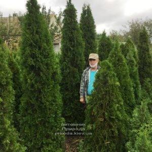 Туя западная Смарагд (Thuja occidentalis Smaragd) ФОТО Питомник растений Природа Priroda (90)