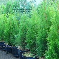 Туя западная Смарагд (Thuja occidentalis Smaragd) ФОТО Питомник растений Природа Priroda (88)