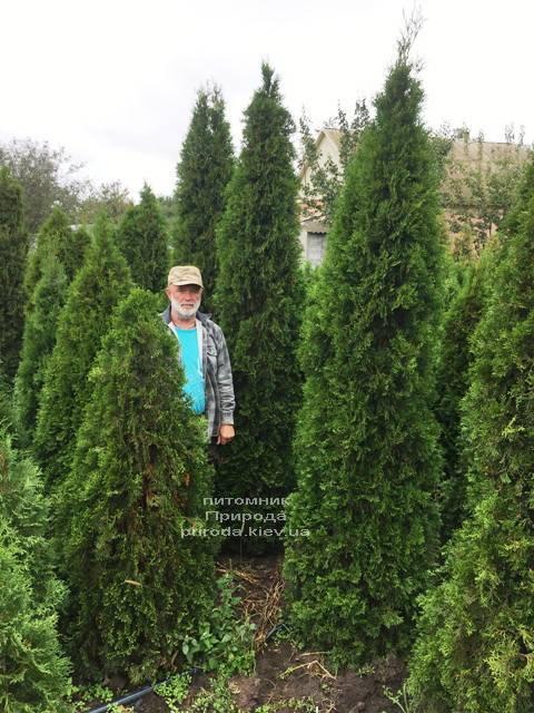 Туя западная Смарагд (Thuja occidentalis Smaragd) ФОТО Питомник растений Природа Priroda (91)
