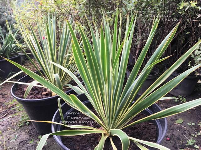 Юкка нитчатая (Yucca filamentosa) с пёстрыми листьями ФОТО Питомник растений Природа Priroda (11)