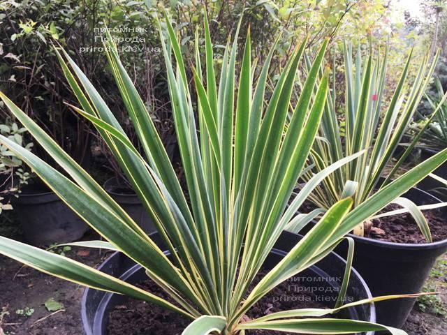 Юкка нитчатая (Yucca filamentosa) с пёстрыми листьями ФОТО Питомник растений Природа Priroda (12)