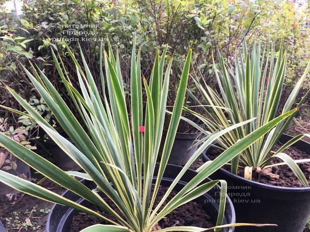 Юкка нитчатая (Yucca filamentosa) с пёстрыми листьями ФОТО Питомник растений Природа Priroda