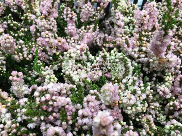 Вереск обыкновенный (Calluna vulgaris) ФОТО Питомник растений Природа Priroda (16)