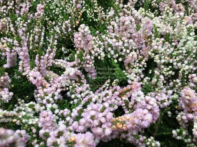 Вереск обыкновенный (Calluna vulgaris) ФОТО Питомник растений Природа Priroda (18)