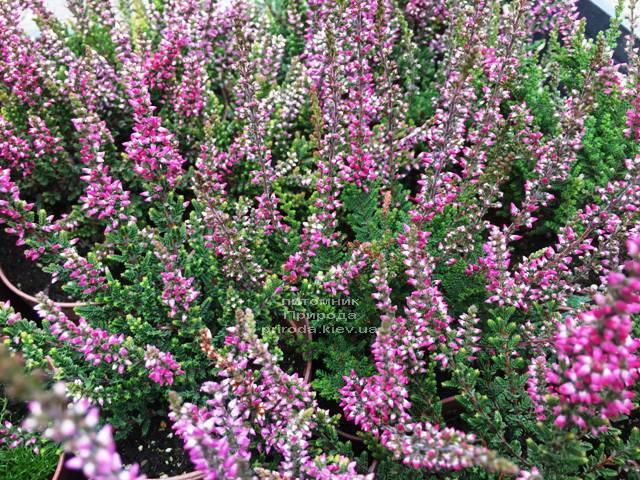 Вереск обыкновенный (Calluna vulgaris) ФОТО Питомник растений Природа Priroda (20)