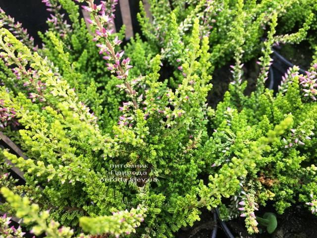 Вереск обыкновенный (Calluna vulgaris) ФОТО Питомник растений Природа Priroda (27)