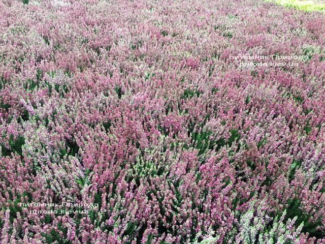 Вереск обыкновенный (Calluna vulgaris) ФОТО Питомник растений Природа Priroda (28)