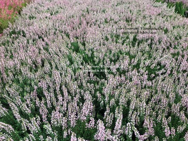 Вереск обыкновенный (Calluna vulgaris) ФОТО Питомник растений Природа Priroda