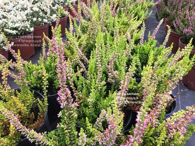 Вереск обыкновенный (Calluna vulgaris) ФОТО Питомник растений Природа Priroda (29)