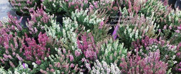 Вереск обыкновенный (Calluna vulgaris) ФОТО Питомник растений Природа Priroda (33)