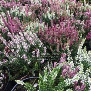Вереск обыкновенный (Calluna vulgaris) ФОТО Питомник растений Природа Priroda (34)