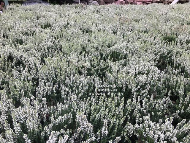 Вереск обыкновенный (Calluna vulgaris) ФОТО Питомник растений Природа Priroda (36)