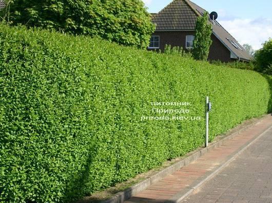 Бирючина обыкновенная Атровиренс (Ligustrum vulgare Atrovirens) ФОТО Питомник растений Природа Priroda
