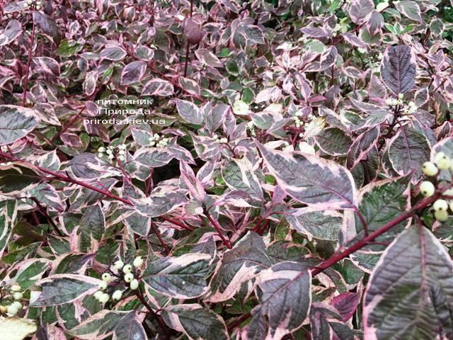 Дерен белый Сибирика Вариегата (Cornus alba Sibirica variegata) ФОТО Питомник растений Природа Priroda (25)