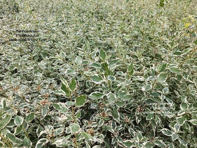 Дерен отпрысковый Вайт Голд (Cornus stolonifera White Gold) ФОТО Питомник растений Природа Priroda