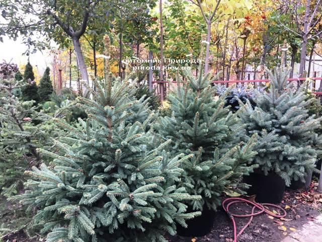 Ель голубая Глаука (Picea pungens Glauca) ФОТО Питомник растений Природа Priroda (259)