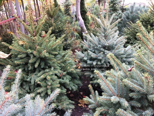 Ель голубая Глаука (Picea pungens Glauca) ФОТО Питомник растений Природа Priroda (261)
