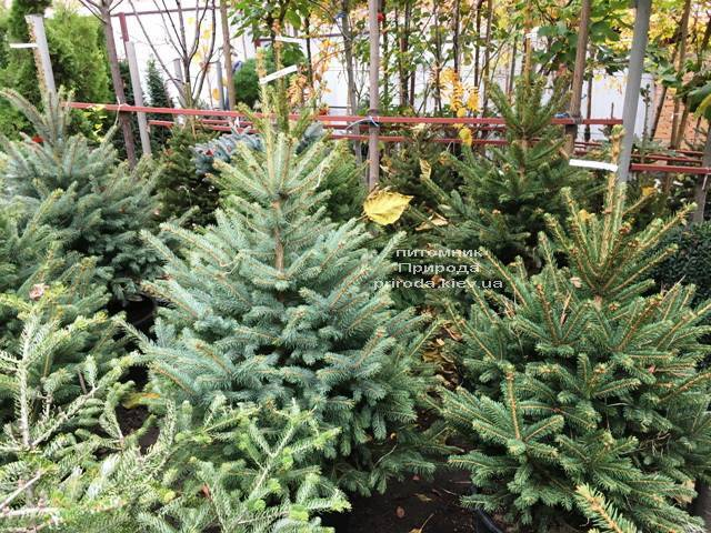 Ель голубая Глаука (Picea pungens Glauca) ФОТО Питомник растений Природа Priroda (263)