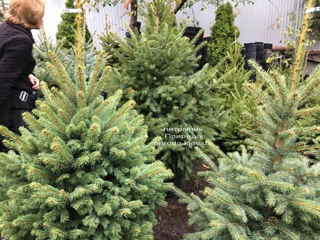 Ель голубая Глаука (Picea pungens Glauca) ФОТО Питомник растений Природа Priroda (262)
