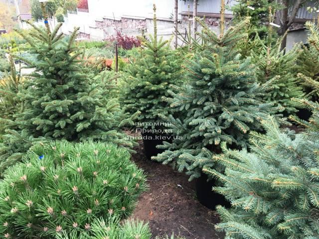 Ель голубая Глаука (Picea pungens Glauca) ФОТО Питомник растений Природа Priroda (264)