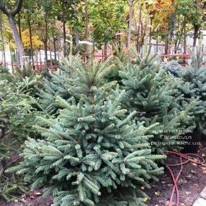 Ель голубая Глаука (Picea pungens Glauca) ФОТО Питомник растений Природа Priroda (265)