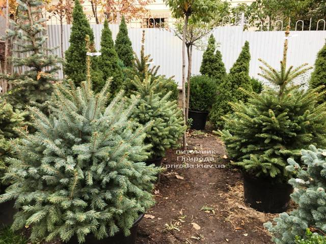 Ель голубая Глаука (Picea pungens Glauca) ФОТО Питомник растений Природа Priroda (266)