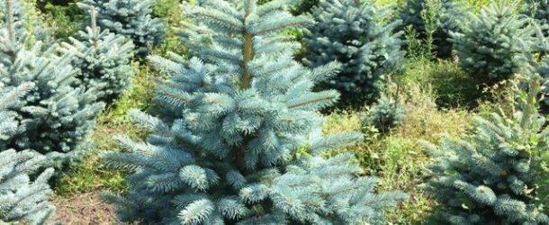 Ель голубая Супер Блю Сидлингс (Picea pungens Super Blue Seedlings) ФОТО Питомник растений Природа Priroda (242)