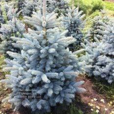 Ель голубая Супер Блю Сидлингс (Picea pungens Super Blue Seedlings) ФОТО Питомник растений Природа Priroda (244)