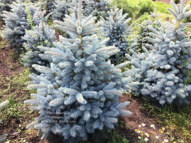 Ель голубая Супер Блю Сидлингс (Picea pungens Super Blue Seedlings) ФОТО Питомник растений Природа Priroda