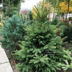 Ель колючая зелёная Глаука (Picea pungens Glauca) ФОТО Питомник растений Природа Priroda (273)